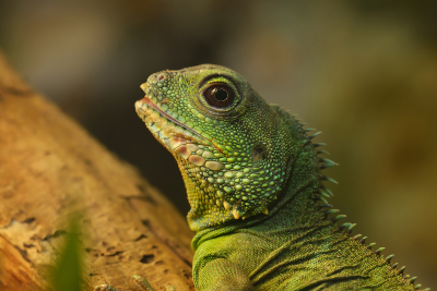 why lizards are not seen in winter