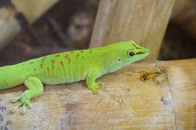 Do lizards breathe through their skin?