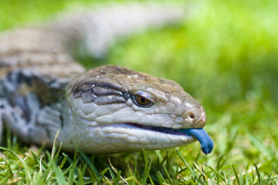 blue tongue lizard uv light