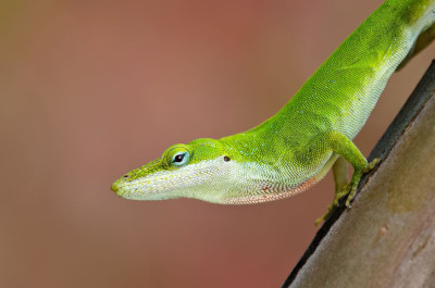will anole lizards bite