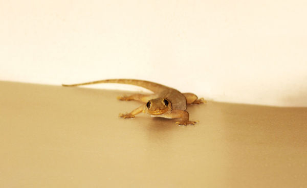 Are house lizards poisonous?