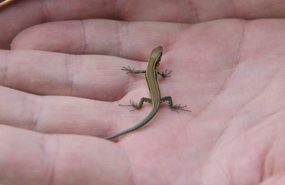 what do baby lizards eat