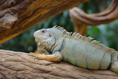What are the predators of an iguana?