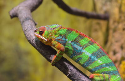 what chameleon colors mean