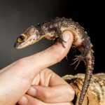 Red-Eyed Crocodile Skink: Care, Facts, Information (with videos)