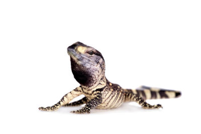 are monitor lizard dangerous - Black Throat Monitor Lizard