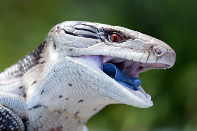 can a blue tongue skink live in a 40 gallon tank