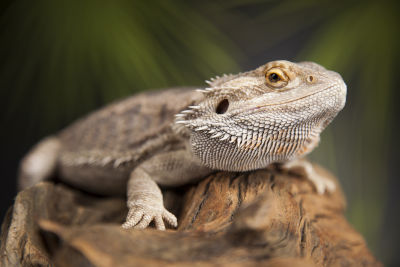 how smart is a bearded dragon