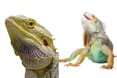 bearded dragon and iguana