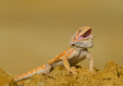 best bearded dragon substrate