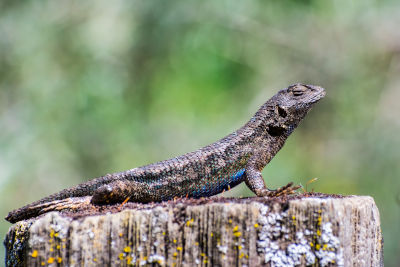 western fence lizard care