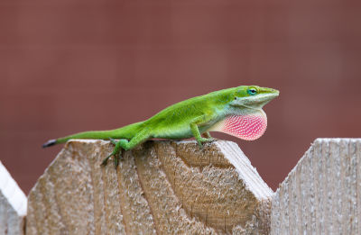 anole lizard turning brown