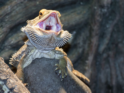 what eats bearded dragons