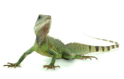 chinese water dragon vivarium size