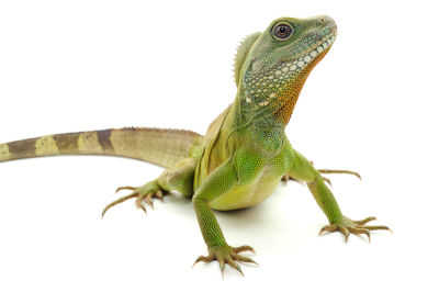 will chinese water dragons eat dead crickets
