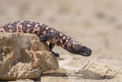 do gila monsters lay eggs