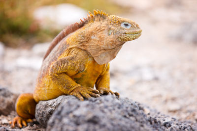 what can i use for iguana bedding