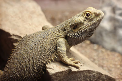 green bearded dragon
