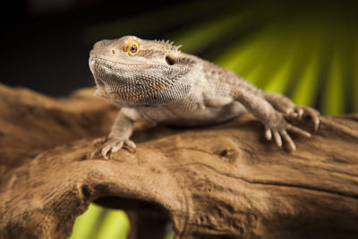 what does it mean when a bearded dragon licks you