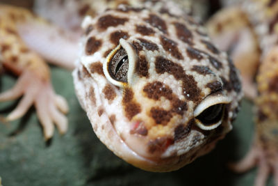 What Human Food Can a Leopard Gecko Eat