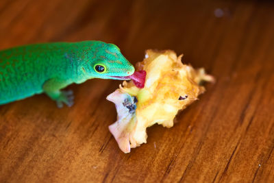 what fruits do lizards eat