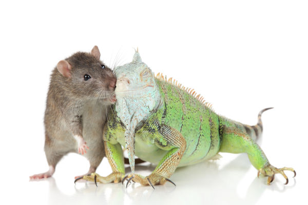 what lizards eat feeder mice