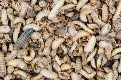calci worms for bearded dragons