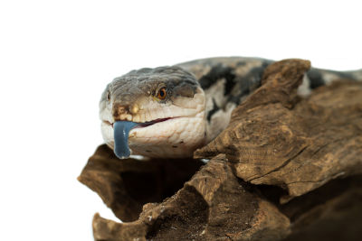 how often do blue tongue skinks shed