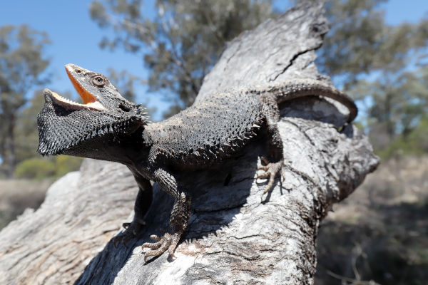 bearded dragon aggression