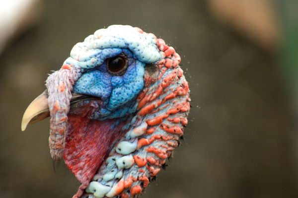 what is a turkey