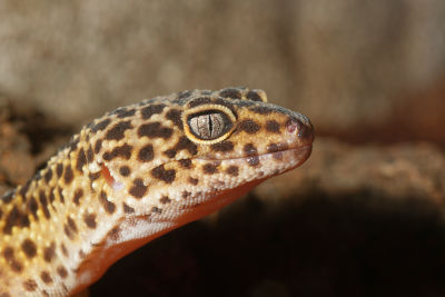 do leopard geckos pee