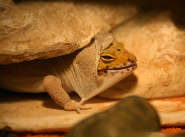 what water is best for shedding-leopard geckos