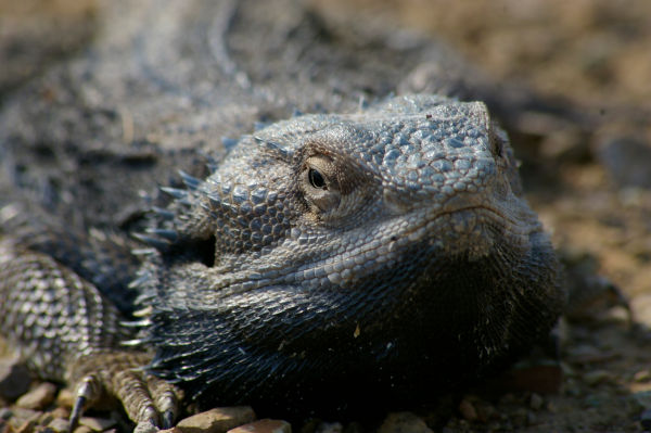 how to get rid of bearded dragon stress marks