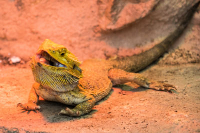 where do bearded dragons live