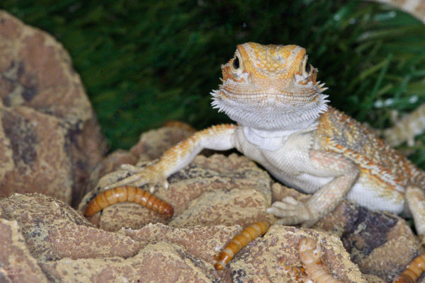 Coastal bearded dragon with Live food