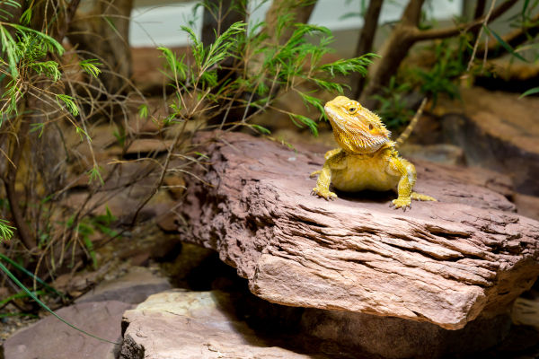 yellow bearded dragon on a stone
