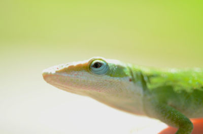 Why do lizards change from green to brown?