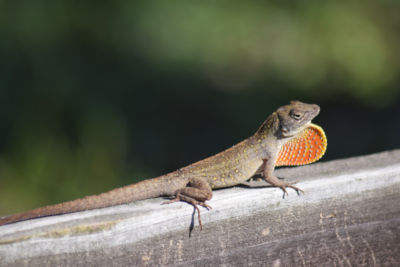 Why do lizards do the neck thing?