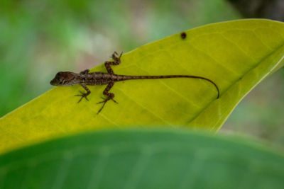 Why do lizards eat their babies?