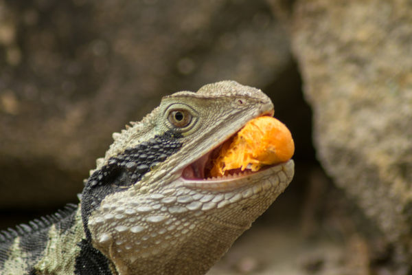 Why do lizards eat their skin?