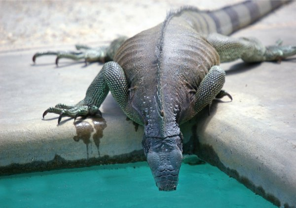 Lizard drinking water from a pool.